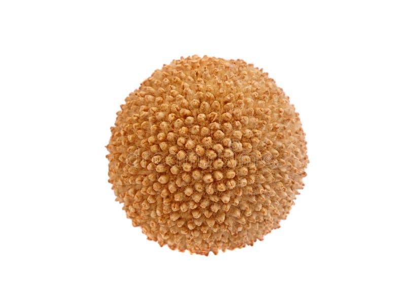 семя platanus стоковая фотография