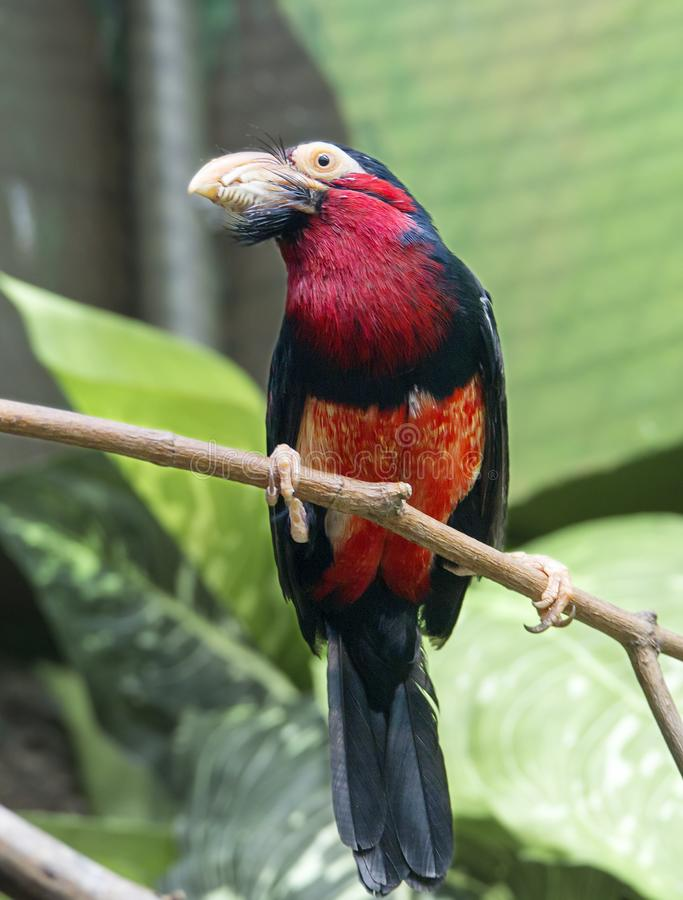 Сенегальская птица Libia стоковая фотография