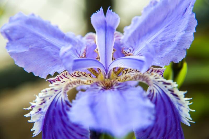 Сентенция fleur-de-lis tectorum радужки стоковые фото