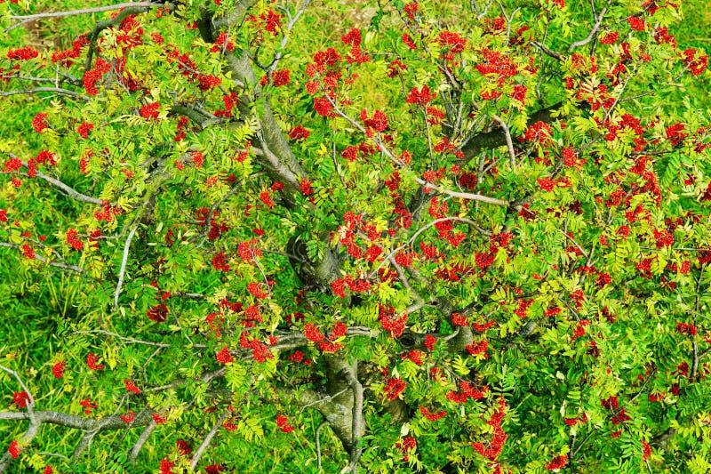 Сень дерева aucuparia, рябины или гор-золы рябины с красными зрелыми плодоовощами Взгляд сверху антенны кроны дерева рябины стоковые изображения rf