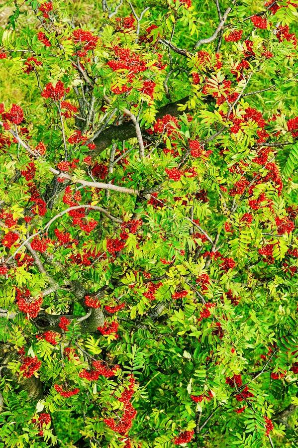 Сень дерева aucuparia, рябины или гор-золы рябины с красными зрелыми плодоовощами Взгляд сверху антенны кроны дерева рябины стоковые изображения
