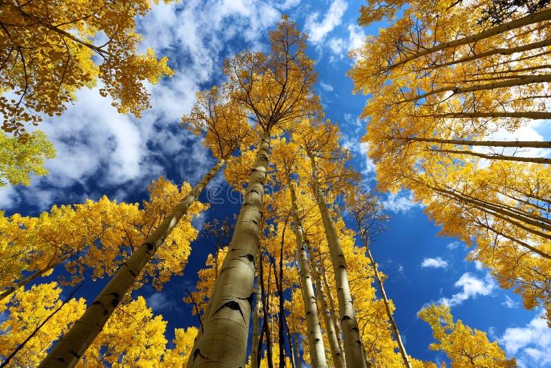 Сень осени листьев дерева Aspen бриллиантово-желтого в падении в скалистые горы Колорадо стоковое фото