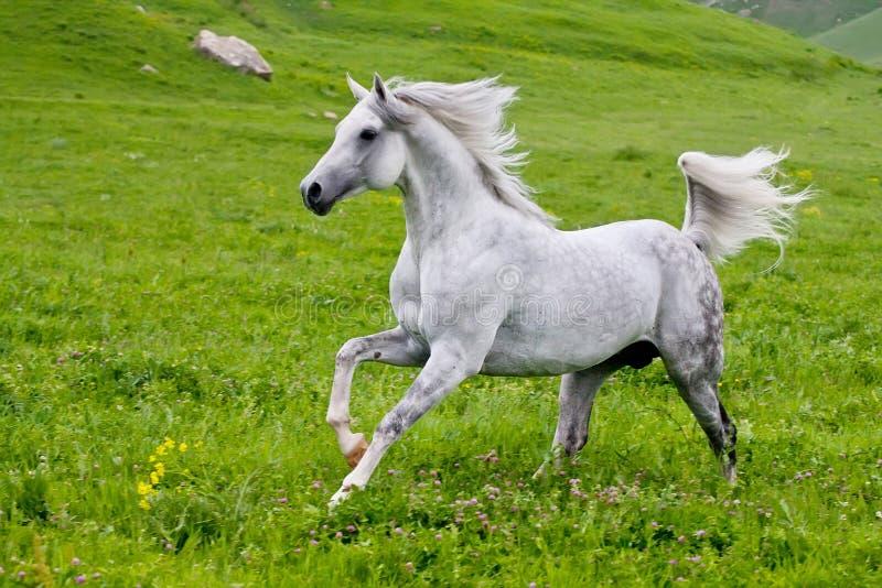 Серая арабская лошадь стоковые изображения