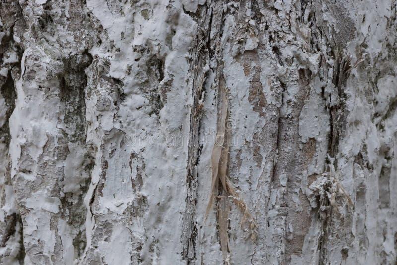 Серая белая естественная покрашенная деревянная текстура коры стоковое изображение rf