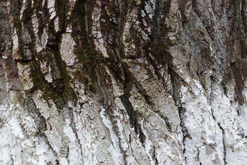 Серая белая естественная покрашенная деревянная текстура коры стоковые фото