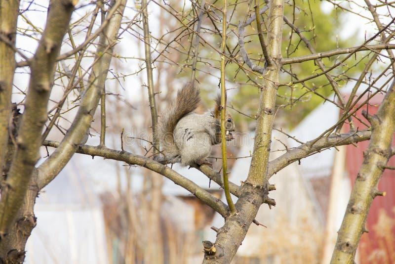 Серая белка сидя на ветвях дерева без листьев стоковая фотография