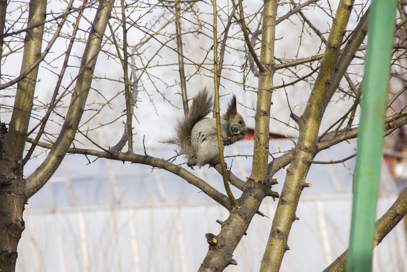 Серая белка сидя на ветвях дерева без листьев стоковое фото