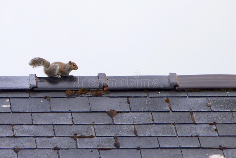 Серая белка на крыше стоковое фото
