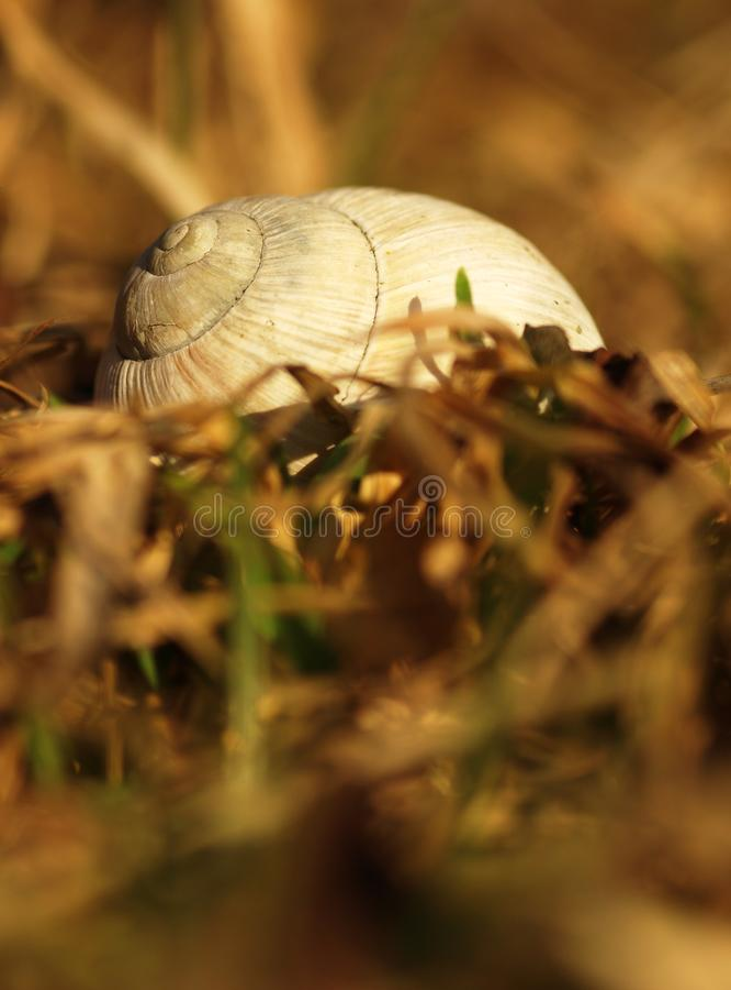 Серая большая раковина улитки сада в сухой траве весны в выравниваясь солнце Деталь раковины со спиралью на луге лета стоковая фотография