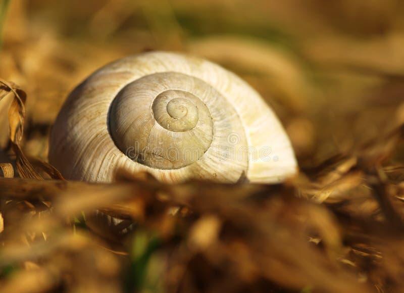 Серая большая раковина улитки сада в сухой траве весны в выравниваясь солнце Деталь раковины со спиралью на луге лета стоковые фотографии rf