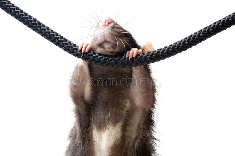 серая веревочка крысы стоковая фотография