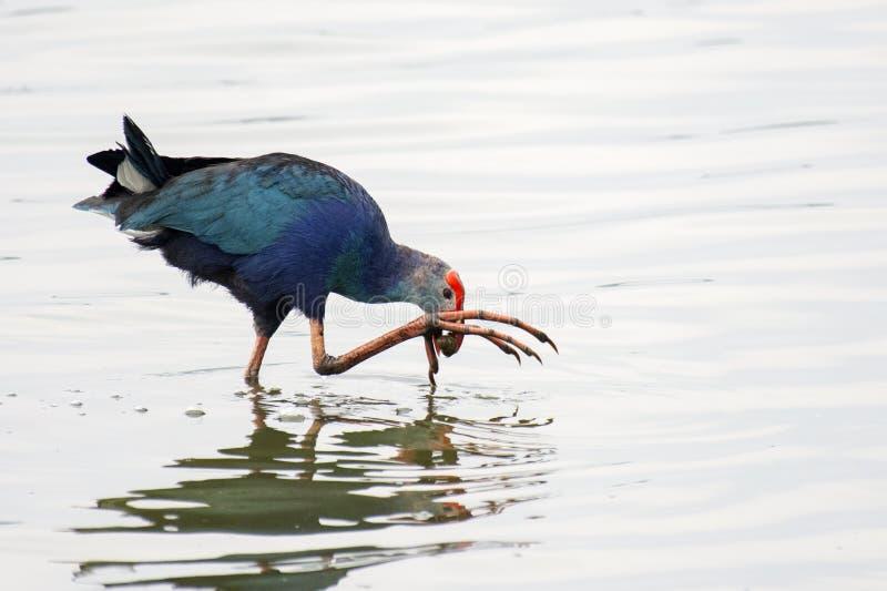 Серая возглавленная курица болота стоковое изображение rf