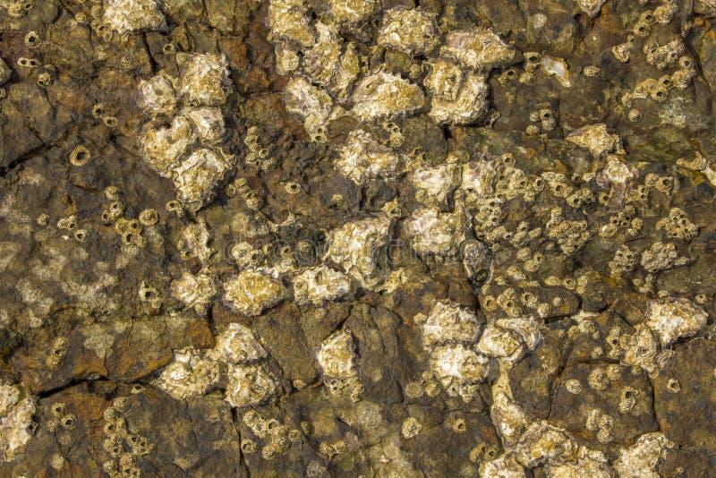 Серая желтая коричневая поверхность каменного утеса с глубоким сбросом, отказами и раковинами жолудей моря естественная текстура стоковая фотография rf
