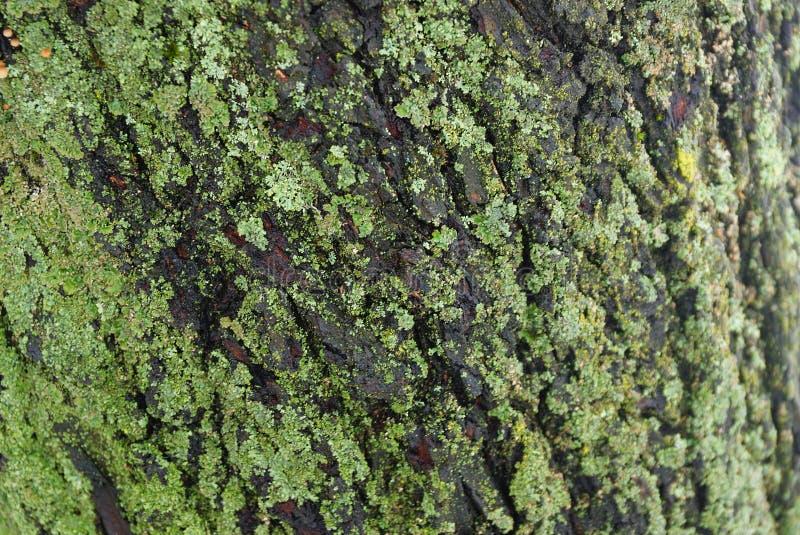 Серая зеленая естественная текстура коры и мха стоковое фото rf