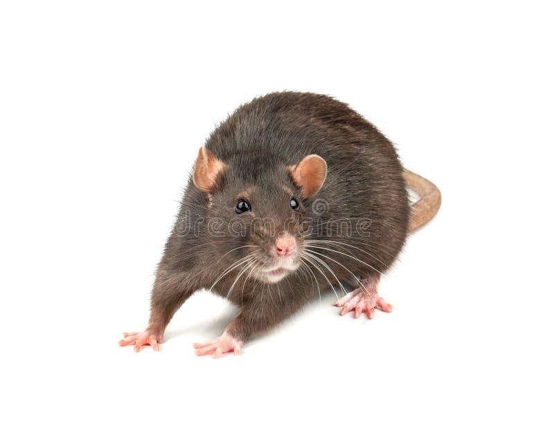Серая изолированная крыса стоковые фотографии rf