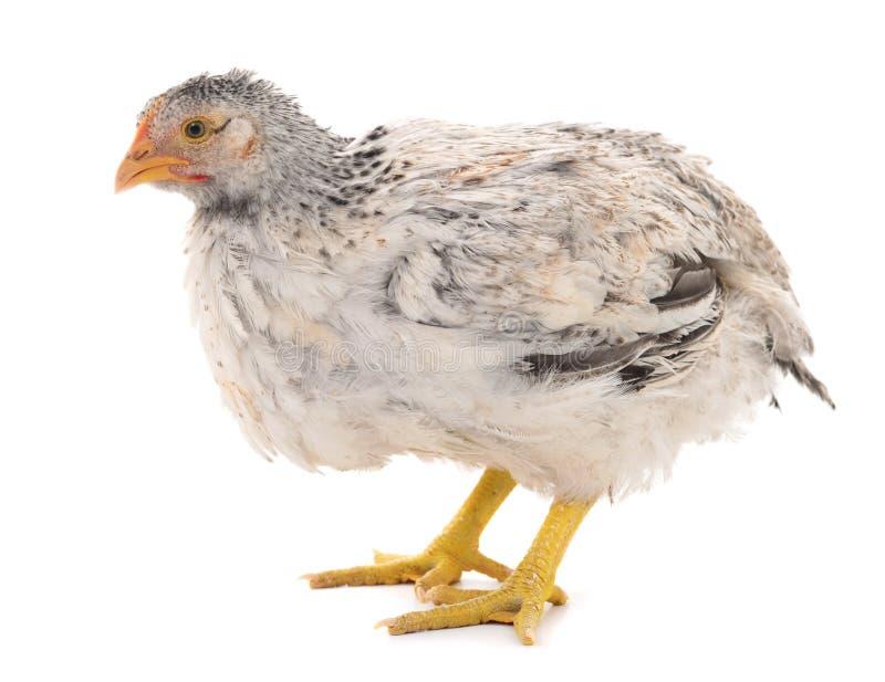Серая изолированная курица стоковое изображение
