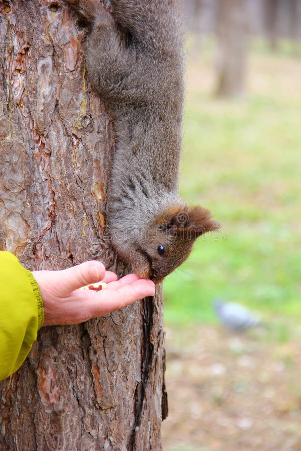 Серая коричневая белка на дереве стоковое фото