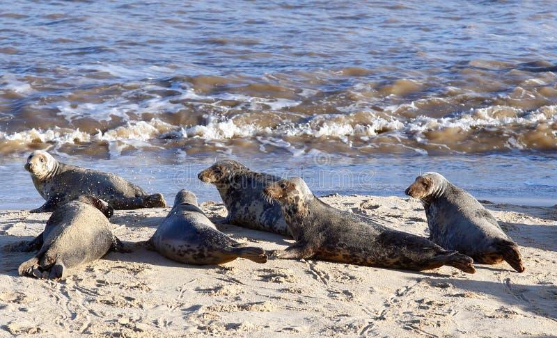 Серая колония уплотнения на Horsey пляже стоковое изображение