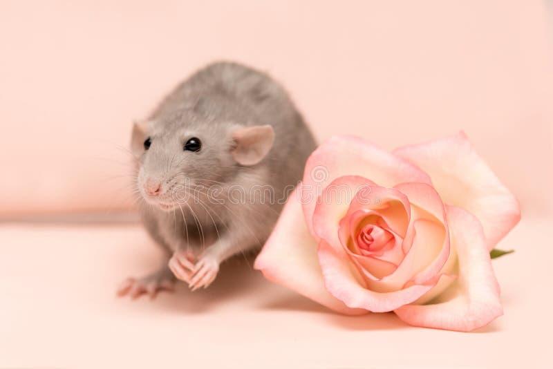 Серая крыса на розовой предпосылке рядом с розой стоковое изображение