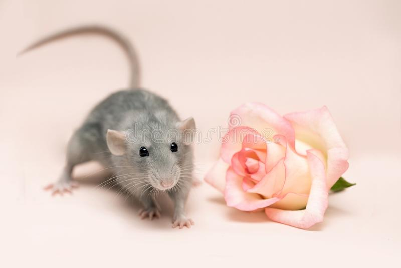 Серая крыса на розовой предпосылке рядом с розой стоковые изображения