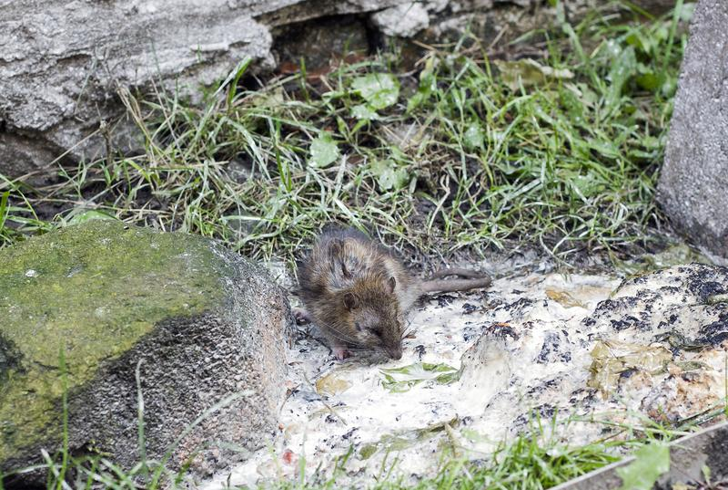 Серая крыса около отброса на улице города стоковые фото