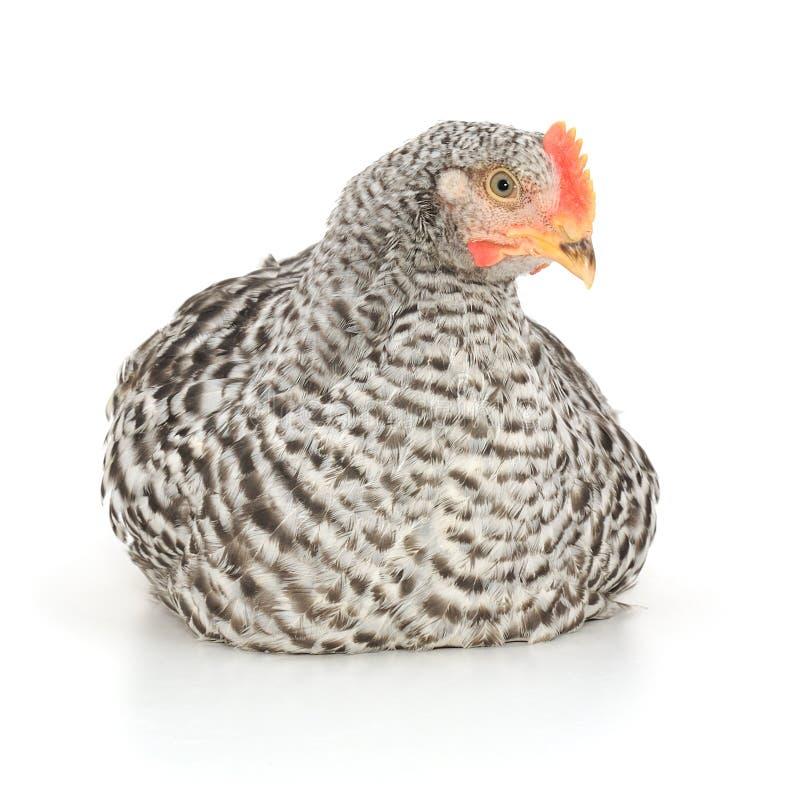 серая курица стоковое фото rf