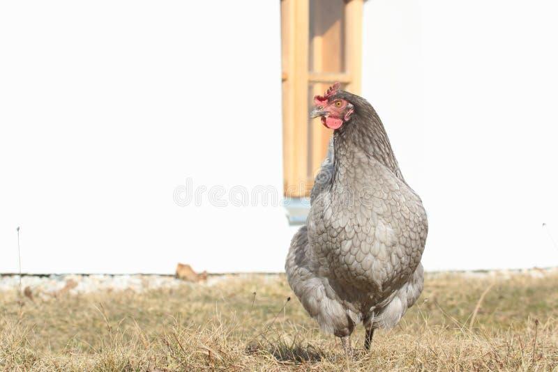 серая курица стоковая фотография