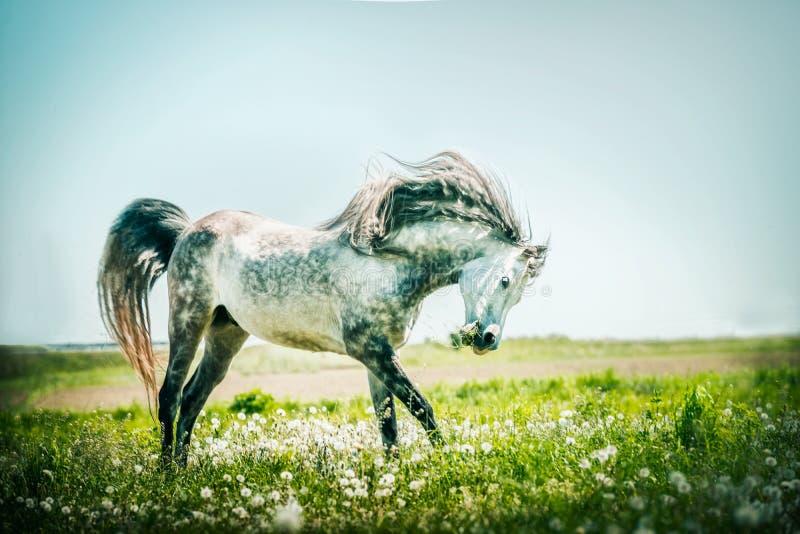 Серая лошадь жеребца бежать на выгоне лета стоковое изображение
