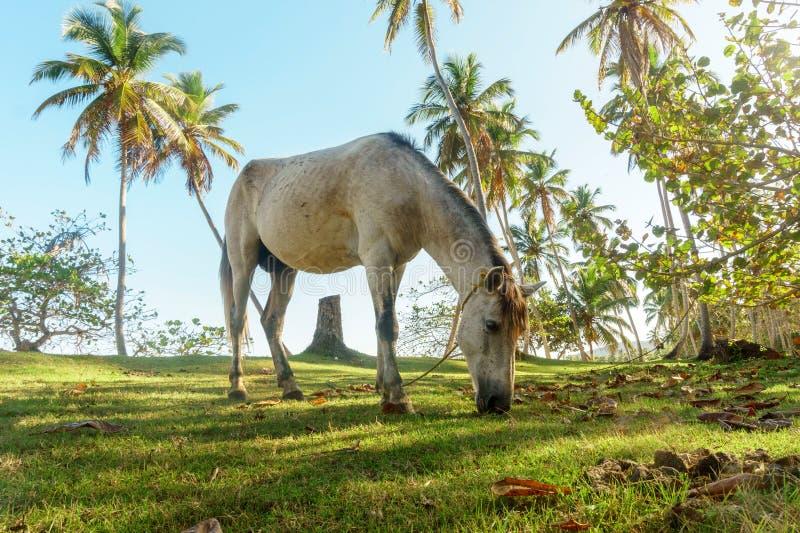 Серая лошадь пася в зеленом луге стоковые изображения rf