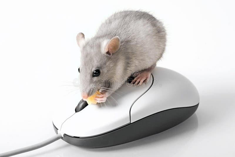 серая мышь стоковая фотография rf