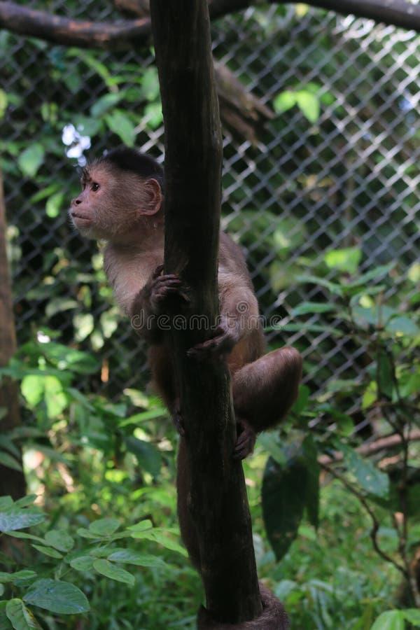Серая обезьяна capuchin, albifrons cebus сидя на ветви стоковая фотография rf