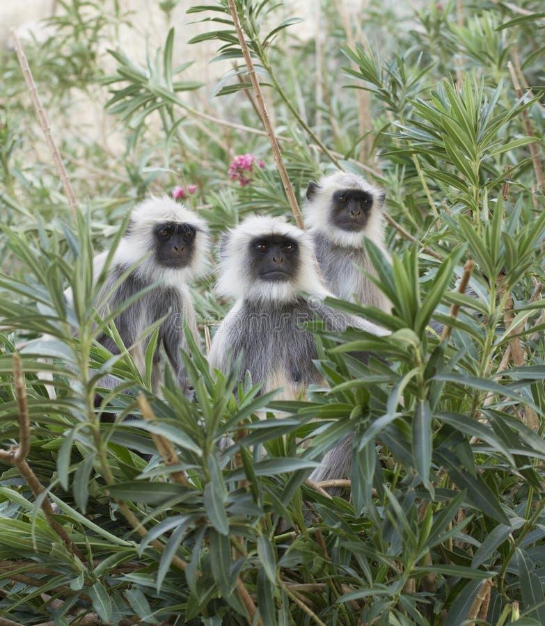 Серая обезьяна Langur стоковые изображения rf