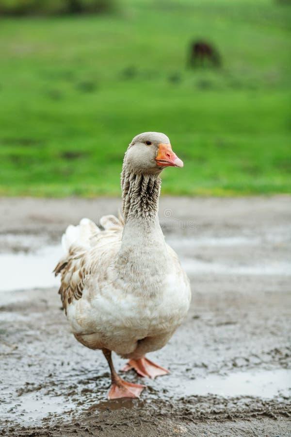 Серая отечественная гусыня идя и смотря Концепция poultr стоковое изображение rf