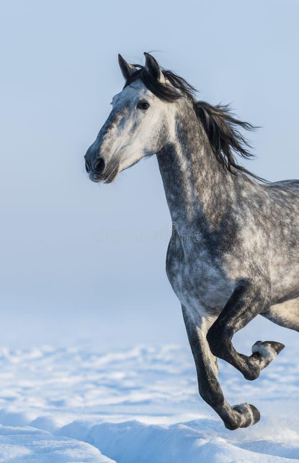 Серая лошадь - близкий поднимающий вверх портрет в движении стоковая фотография rf
