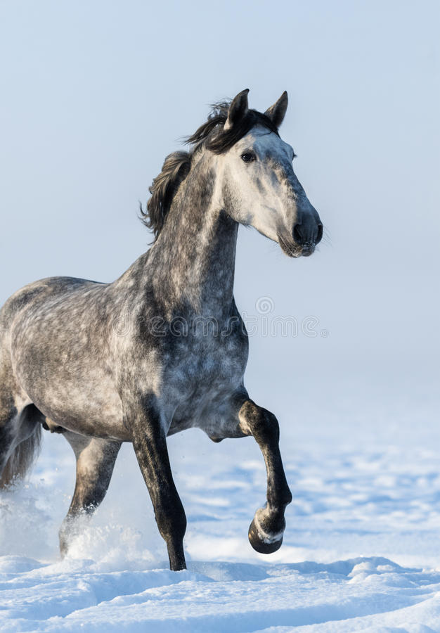 Серая лошадь - близкий поднимающий вверх портрет в движении стоковое изображение rf
