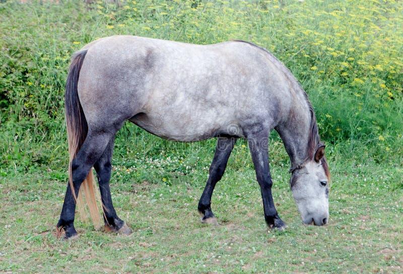 Серая лошадь в луге пася стоковые фото