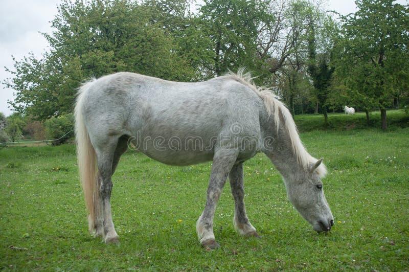 Серая лошадь в луге стоковые изображения rf