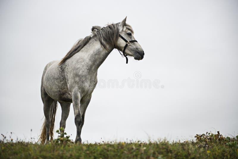 Серая лошадь стоковое фото rf