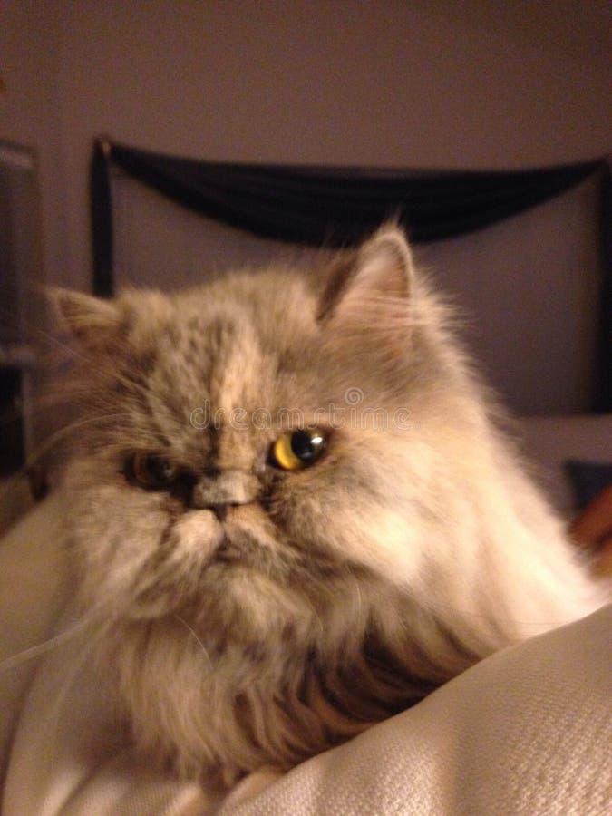 Серая персиянка кота стоковая фотография rf