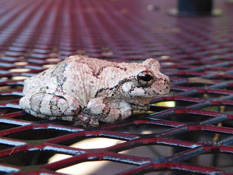 Серая древесная лягушка стоковые фотографии rf