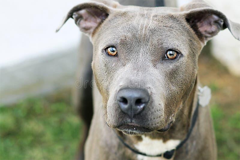 Серая собака призрака с оглушать глазами стоковые фотографии rf