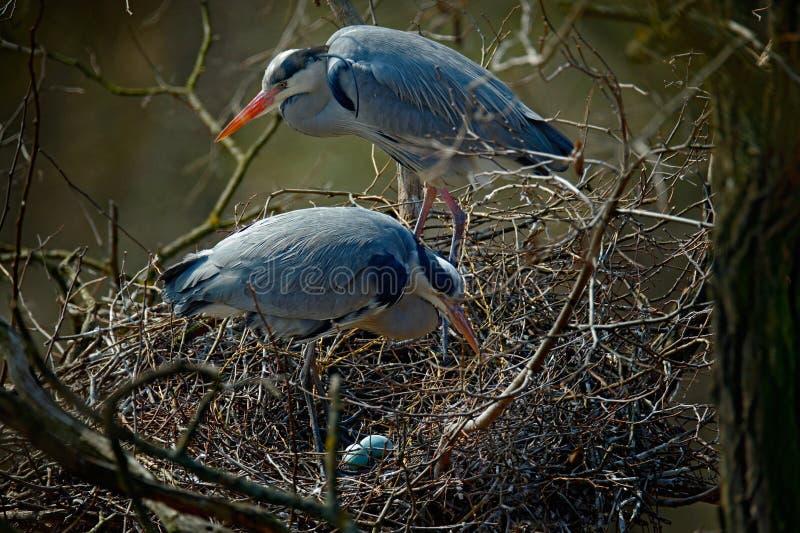 Серая цапля, Ardea cinerea, пара птиц воды в гнезде с яичками, времени гнездиться, животном поведении стоковое фото rf