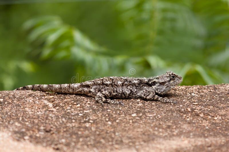 Серая ящерица отдыхая на утесе стоковые фото