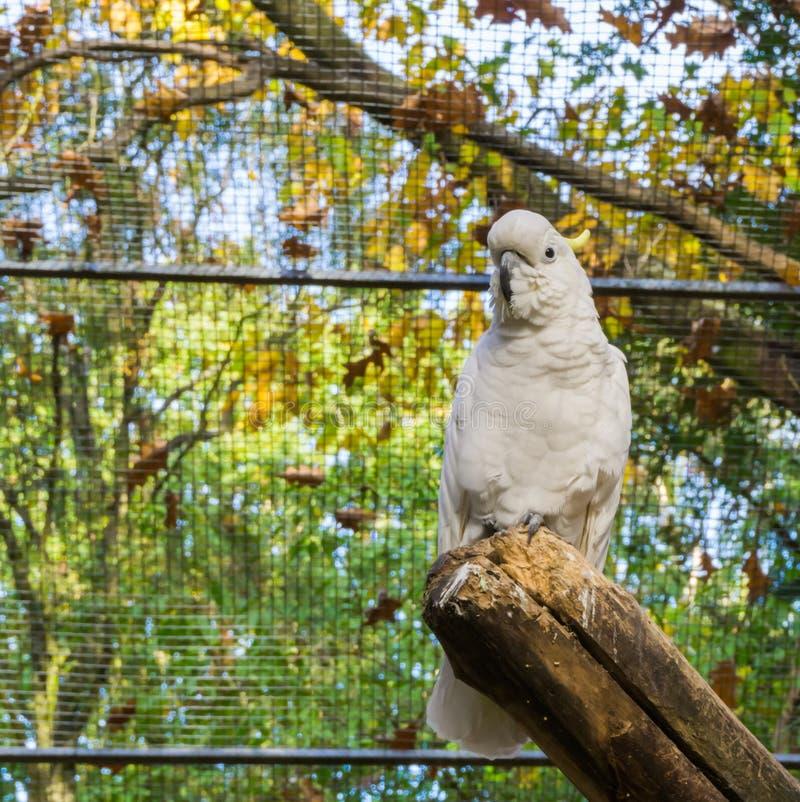 Сера crested белый какаду сидя ветвь дерева, популярный любимец в aviculture от Австралии стоковое фото rf