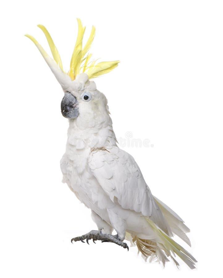Download сера Galerita Cacatua Crested Cockatoo Стоковое Изображение - изображение насчитывающей crested, любимчики: 6855219