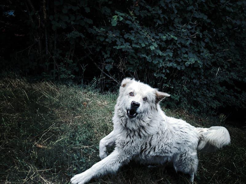 Сердитая агрессивная собака оголяет его зубы и нападения стоковое фото rf