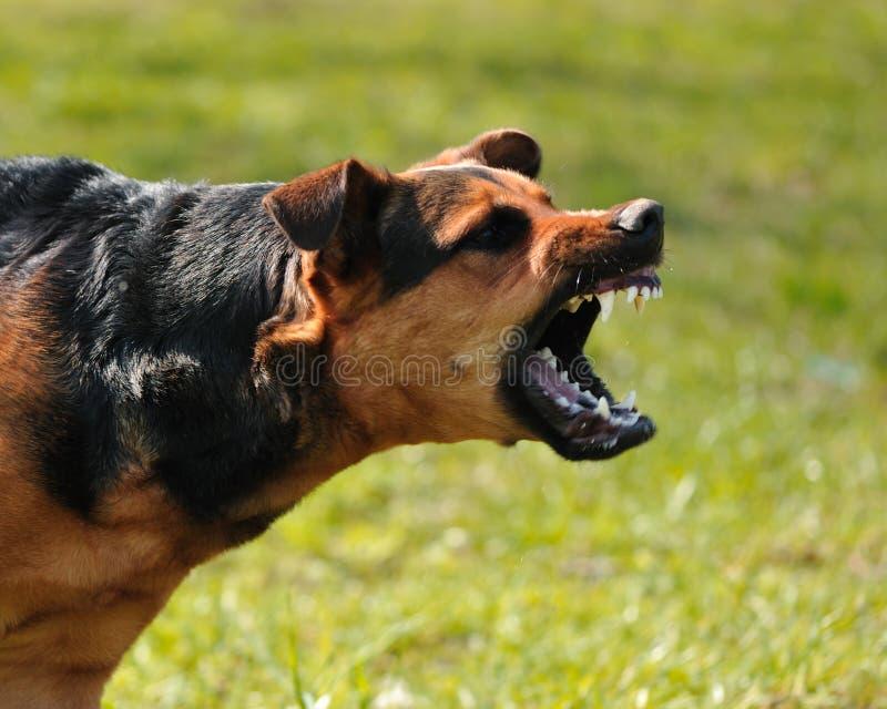 сердитая собака стоковое фото