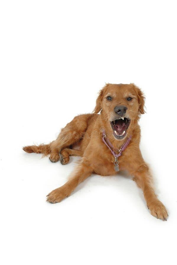 сердитая собака стоковое изображение