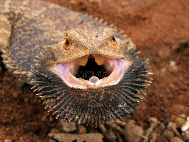 сердитый бородатый дракон стоковые фото