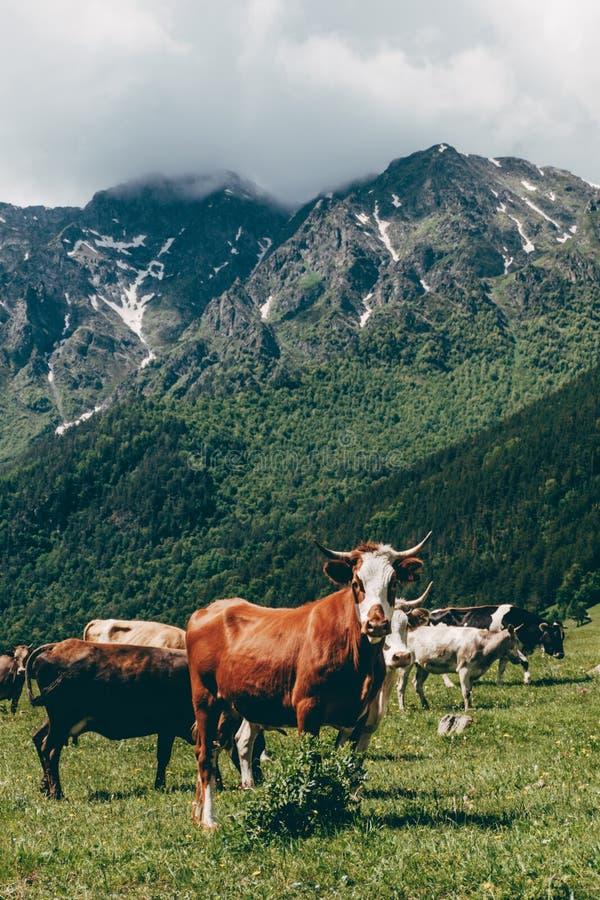 Сердитый бык смотря камеру на зеленом ландшафте горы стоковое изображение rf